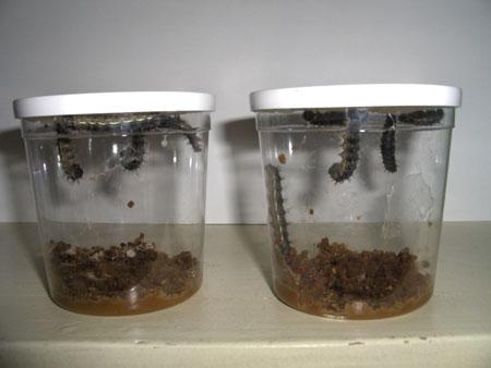 vendredi 4 avril les chenilles remontent vers le couvercle et pendent la tte en bas pour se transformer en chrysalide cest la mue